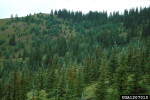 Picture of mountain stand of Englemann Spruce