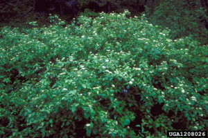 Redosier Dogwood