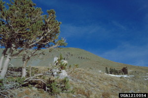 Picture of Bristlecone tree