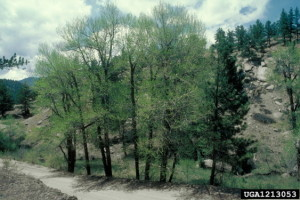 Picture of Narrowleaf Cottonwood