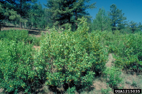 Picture of Caragana Shrub