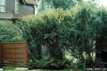Picture of Cotoneaster hedge