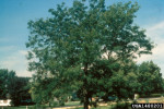 Picture of Honey locust