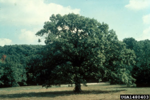Picture of Bur Oak