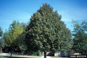 Picture of Littleleaf Linden