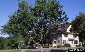 Picture of Hackberry Tree