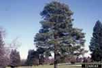 Picture of Scotch Pine