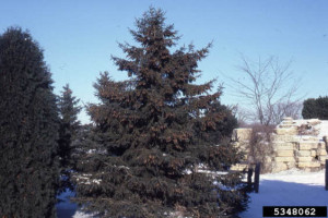Picture of close relation, White Spruce