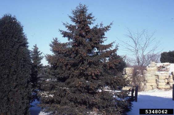 Picture of White Spruce - close relative of Black Hills Spruce