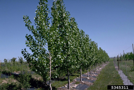 Picture of Nursery Aspens