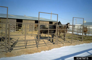 Picture of Horses in Dry Lot Corral