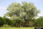Picture of related white willow