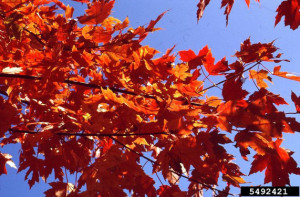 Picture of Autumn Blaze Maple Fall Foliage