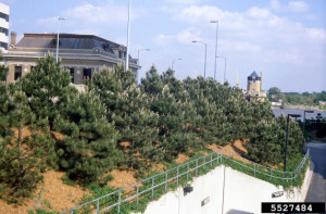 Picture of Austrian Pine trees