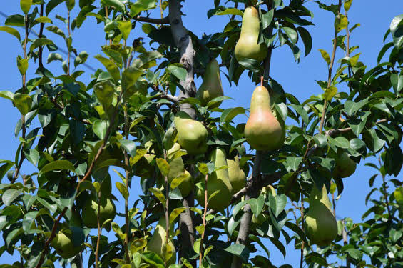 Picture of Bartlett Pear foliage and fruit