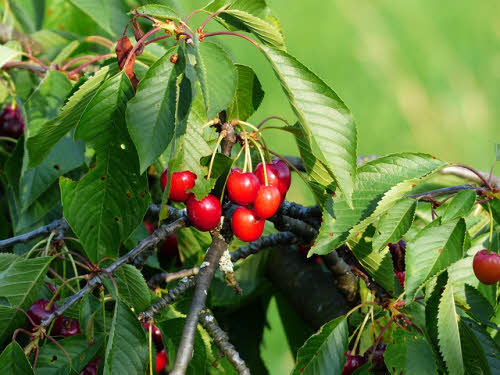 Picture of Cherry tree fruit and foliage