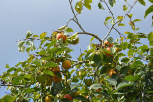 Picture of Elberta Peach Foliage and Fruit
