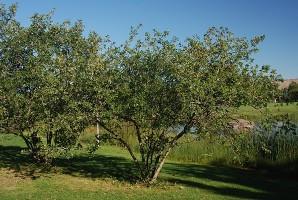 Picture of Gambel Oak