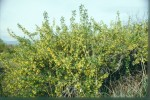 Picture of Golden Currant