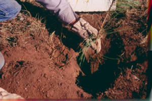 Planting Bare Root Seedlings