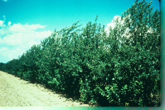 Picture of Chokecherry row