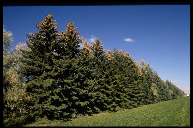 Picture of Colorado Blue Spruce windrow