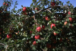 Picture of Fruit and Foliage of Honeycrisp Apple