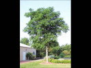 Picture of Kentucky Coffee Tree