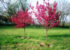 Picture of Prairie Fire Crabapple