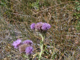Picture of Canada Thistle