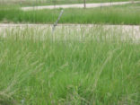 Recommended Grasses for our Area