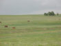 Picture of pasture & cattle