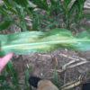 CSU Corn Pathogens Study
