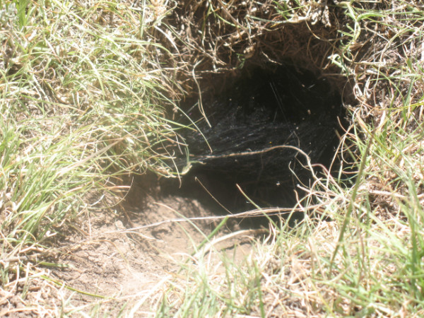 Picture of spider web covering abandoned prairie dog burrow entrance