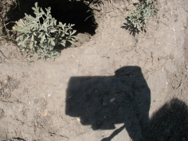 Picture of vegetation growing in prairie dog burrow entrance