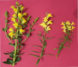 Identifying Hybrid Toadflax