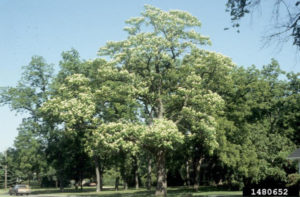 Northern Catalpa tree in summer